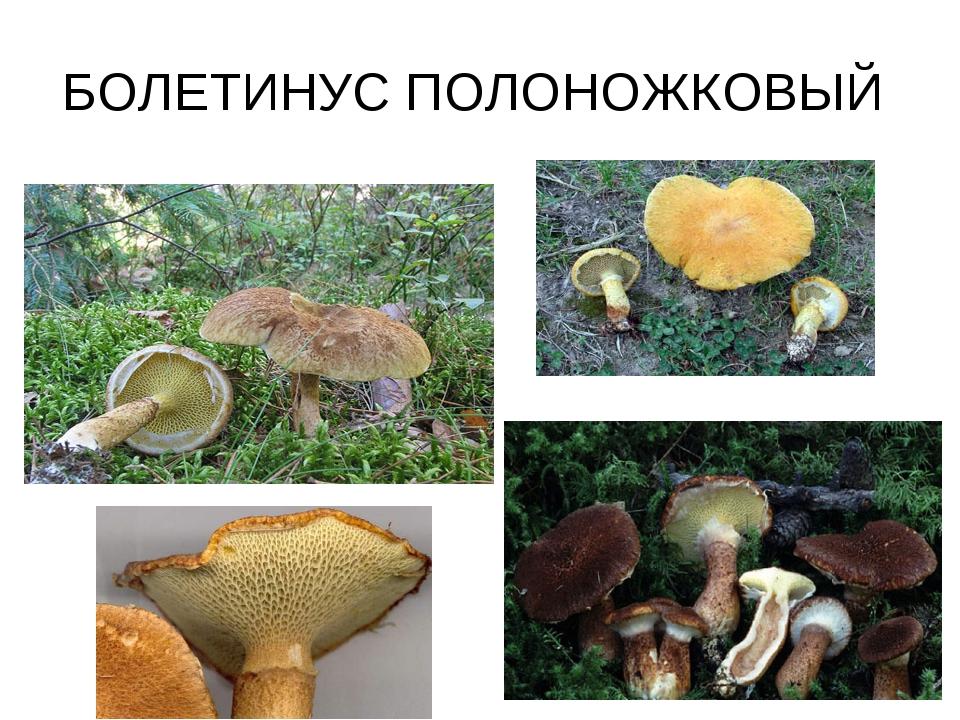 БОЛЕТИНУС ПОЛОНОЖКОВЫЙ