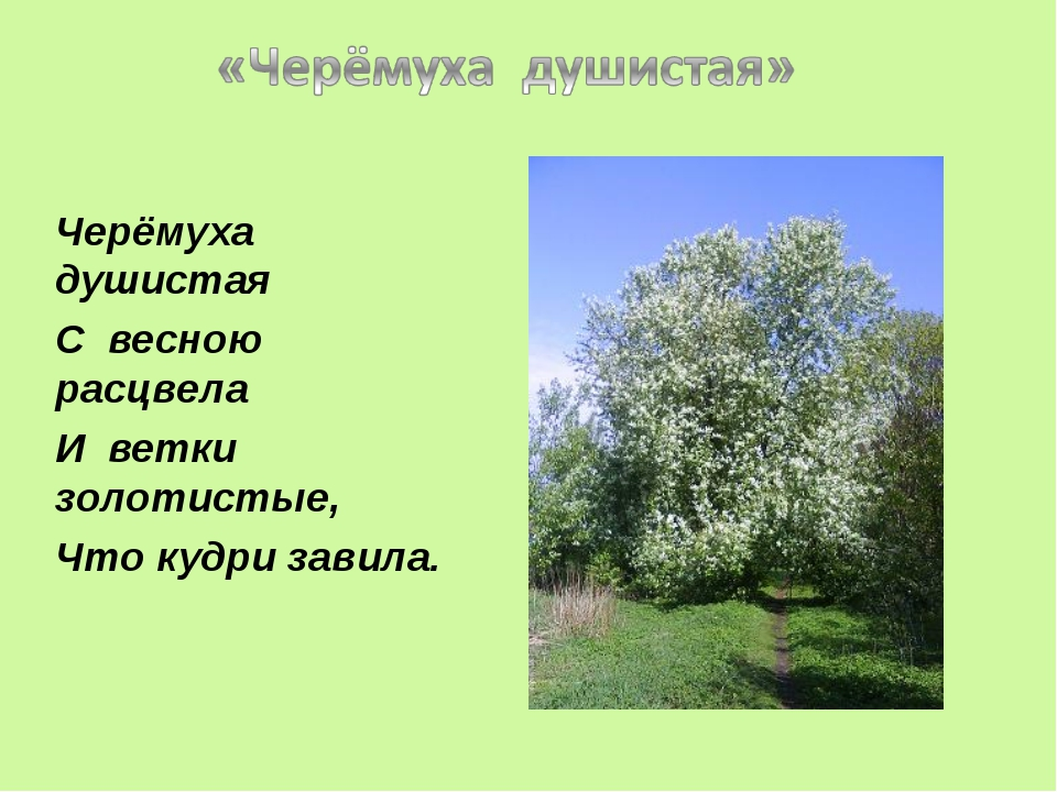 Черёмуха душистая С весною расцвела И ветки золотистые, Что кудри завила.