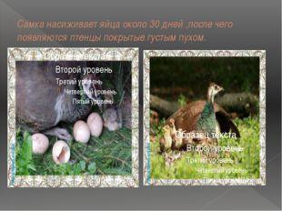 Самка насиживает яйца около 30 дней ,после чего появляются птенцы покрытые гу