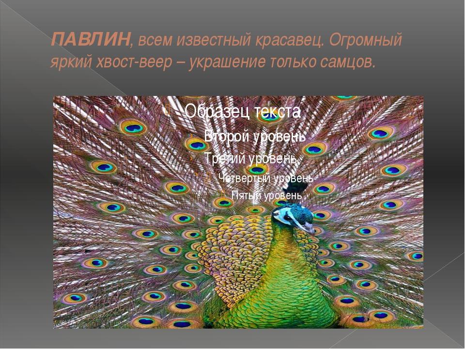 ПАВЛИН, всем известный красавец. Огромный яркий хвост-веер – украшение только...