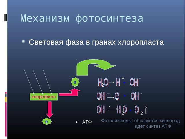 Механизм фотосинтеза Световая фаза в гранах хлоропласта хлорофилл е е АТФ 2 +...