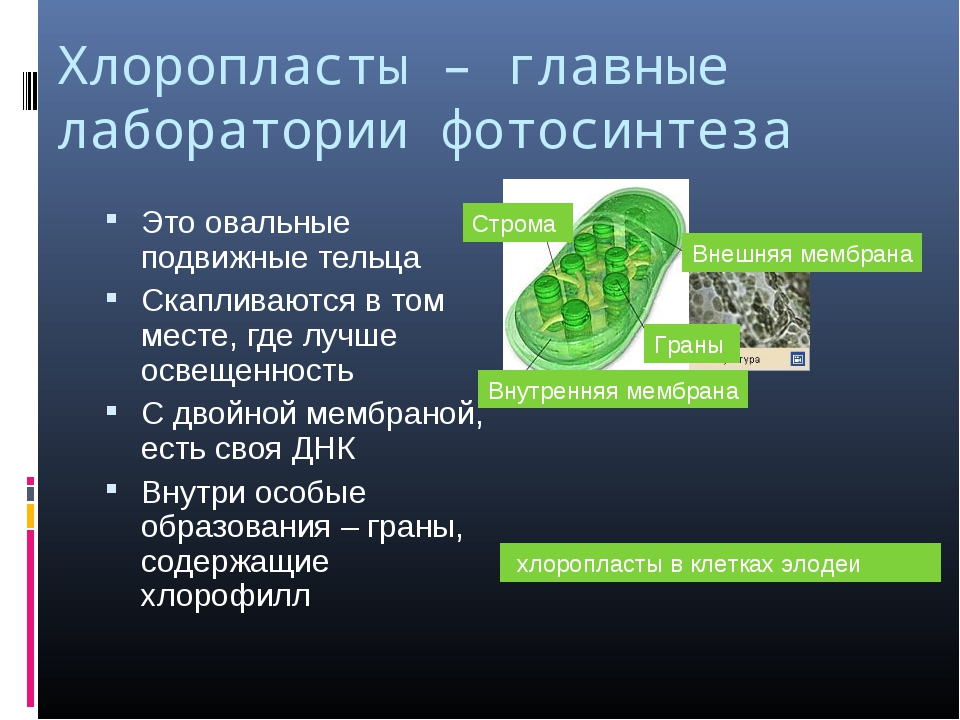 Хлоропласты – главные лаборатории фотосинтеза Это овальные подвижные тельца С...