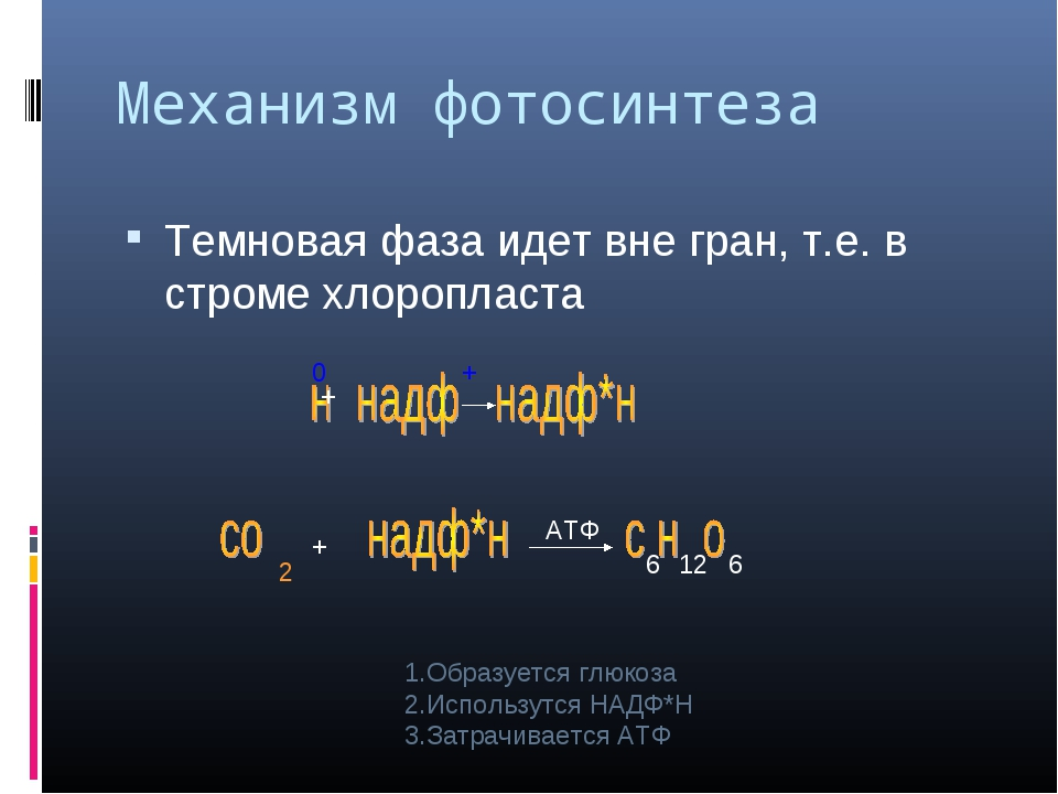Механизм фотосинтеза Темновая фаза идет вне гран, т.е. в строме хлоропласта 0...