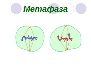 Метафаза