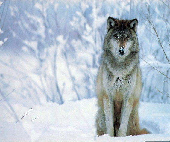 http://photos.hdlandscapewallpaper.com/animal/lobos/lobos872.jpg
