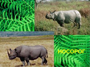 НОСОРОГ Чёрный носорог белый носорог белый носорог – очень мирное животное. О