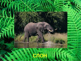 СЛОН Слон слон умеет быстро бегать, хорошо плавает. Когда слон идет по лесу –