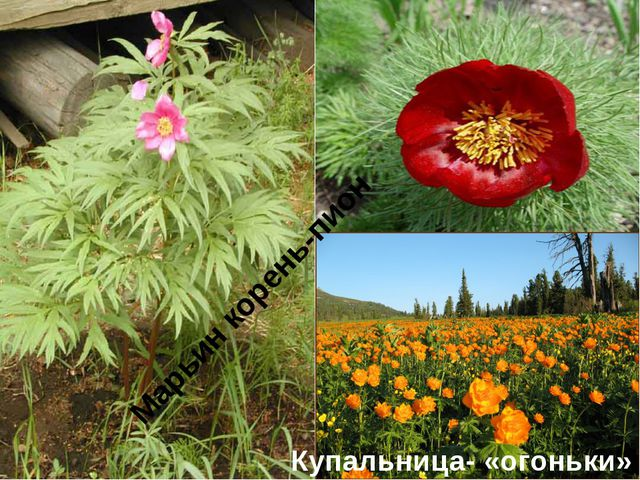 Марьин корень-пион Купальница- «огоньки»