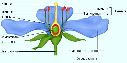 цветок в биологии