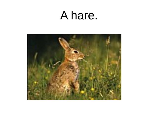 A hare.