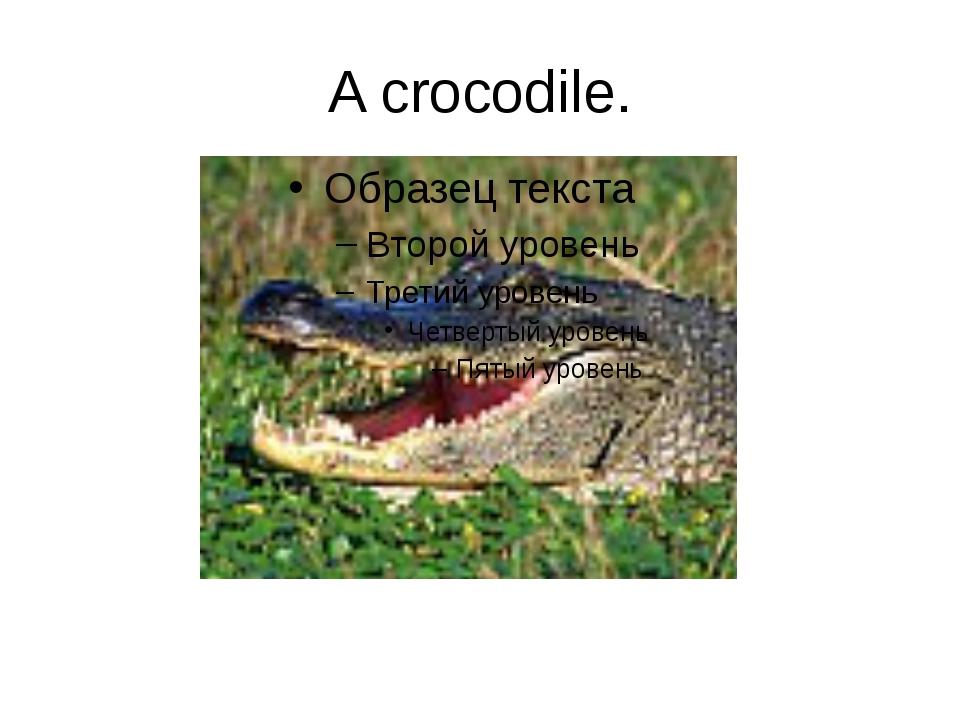 A crocodile.