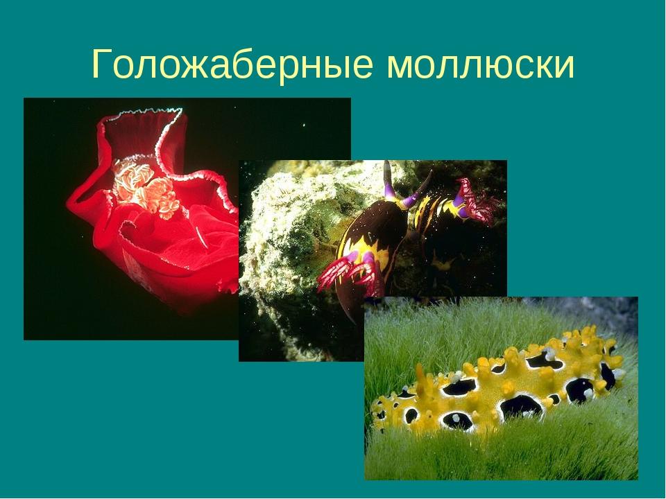 * Голожаберные моллюски