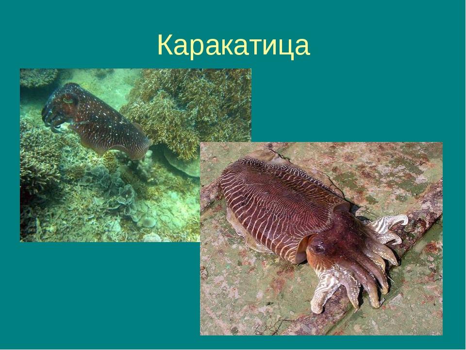 * Каракатица