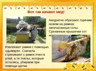 Вот так качают мед! Извлекают рамки с помощью «дымаря». Сначала стряхивают с