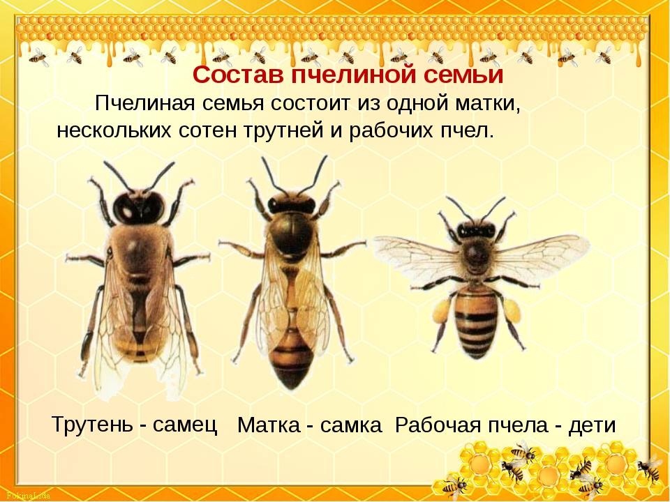 Трутень - самец Матка - самка Рабочая пчела - дети Состав пчелиной семьи Пчел...