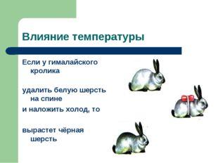 Влияние температуры Если у гималайского кролика удалить белую шерсть на спине