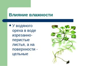 Влияние влажности У водяного ореха в воде изрезанно-перистые листья, а на пов