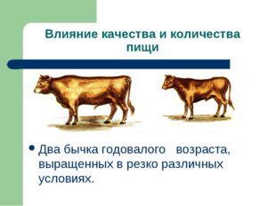 Влияние качества и количества пищи Два бычка годовалого возраста, выращенных