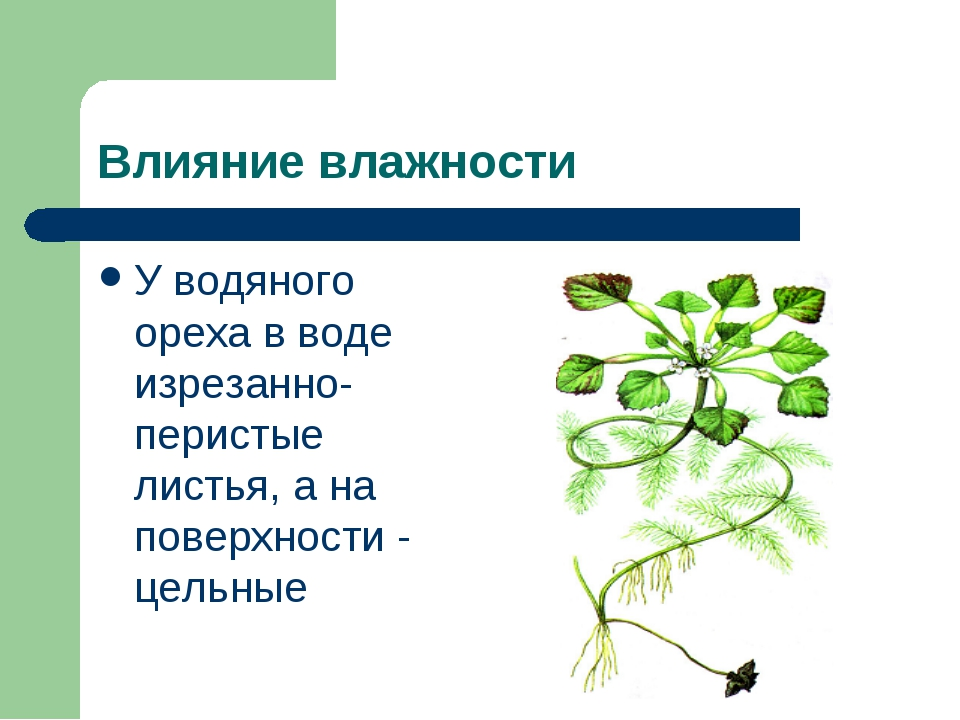 Влияние влажности У водяного ореха в воде изрезанно-перистые листья, а на пов...