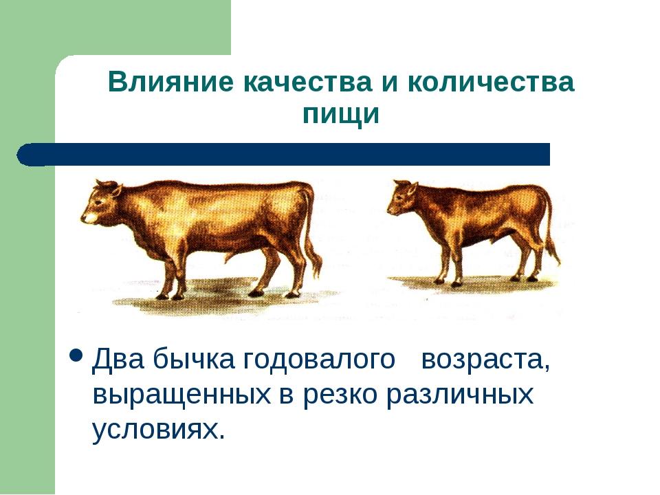 Влияние качества и количества пищи Два бычка годовалого возраста, выращенных...