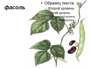 фасоль