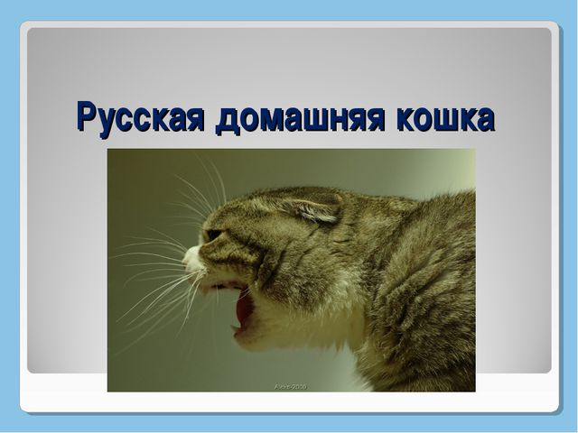 Русская домашняя кошка