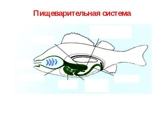На челюстях рыбы расположены мелкие или крупные зубы Пищеварительная система