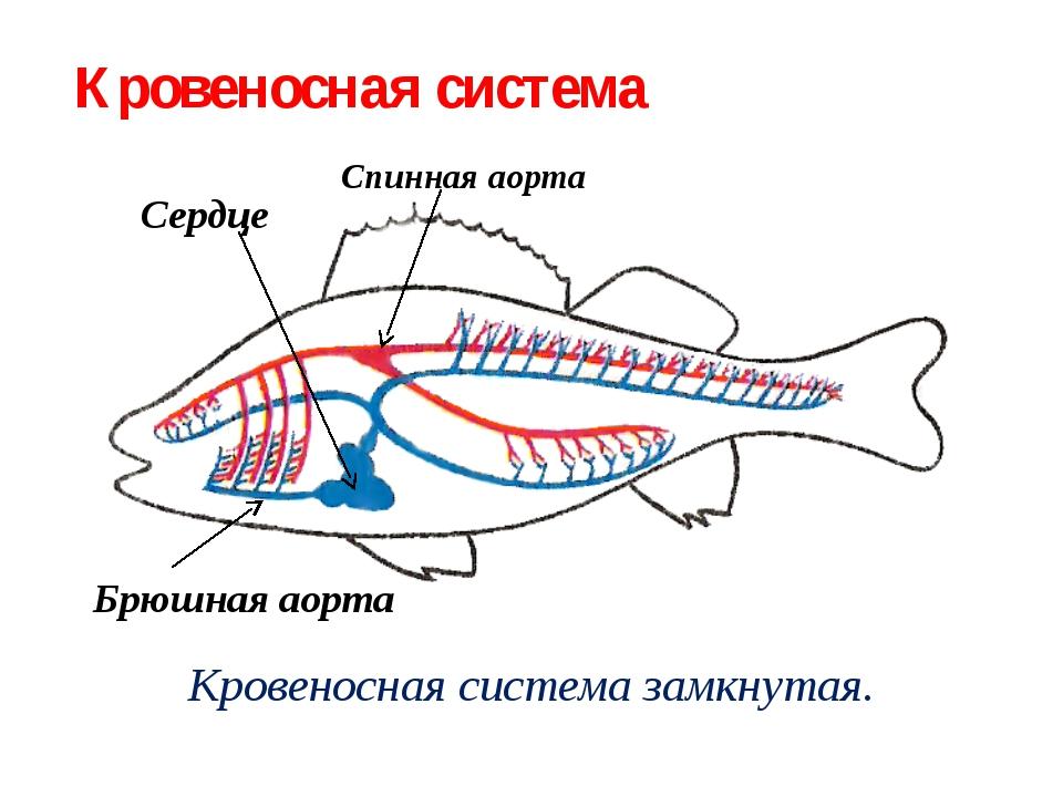 Кровеносная система замкнутая. Сердце Спинная аорта Брюшная аорта Кровеносная...