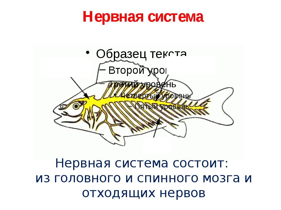 Нервная система Нервная система состоит: из головного и спинного мозга и отх...