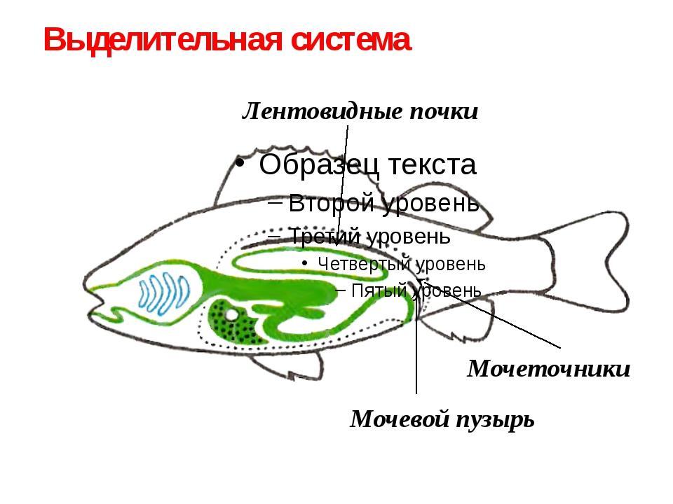 Лентовидные почки Мочеточники Выделительная система Мочевой пузырь