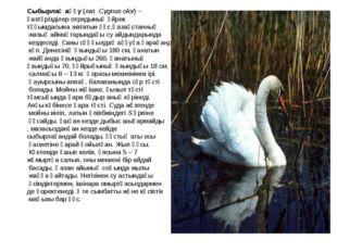 Сыбырлақ аққу (лат. Cygnus olor) – қазтәрізділер отрядының үйрек тұқымдасына