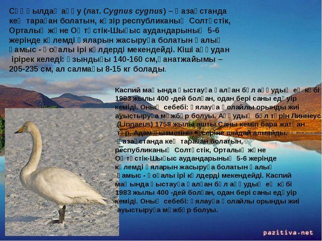 Сұңқылдақ аққу (лат. Cygnus cygnus) – Қазақстанда кең тараған болатын, кәзір...