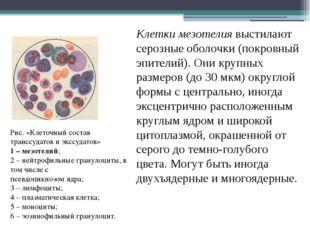 Клетки мезотелия выстилают серозные оболочки (покровный эпителий). Они крупны