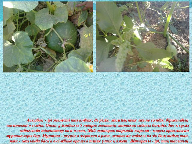 Асқабақ - ірі жемісті тағамдық, дәрілік, малазықтық және сәндік, біржыл...