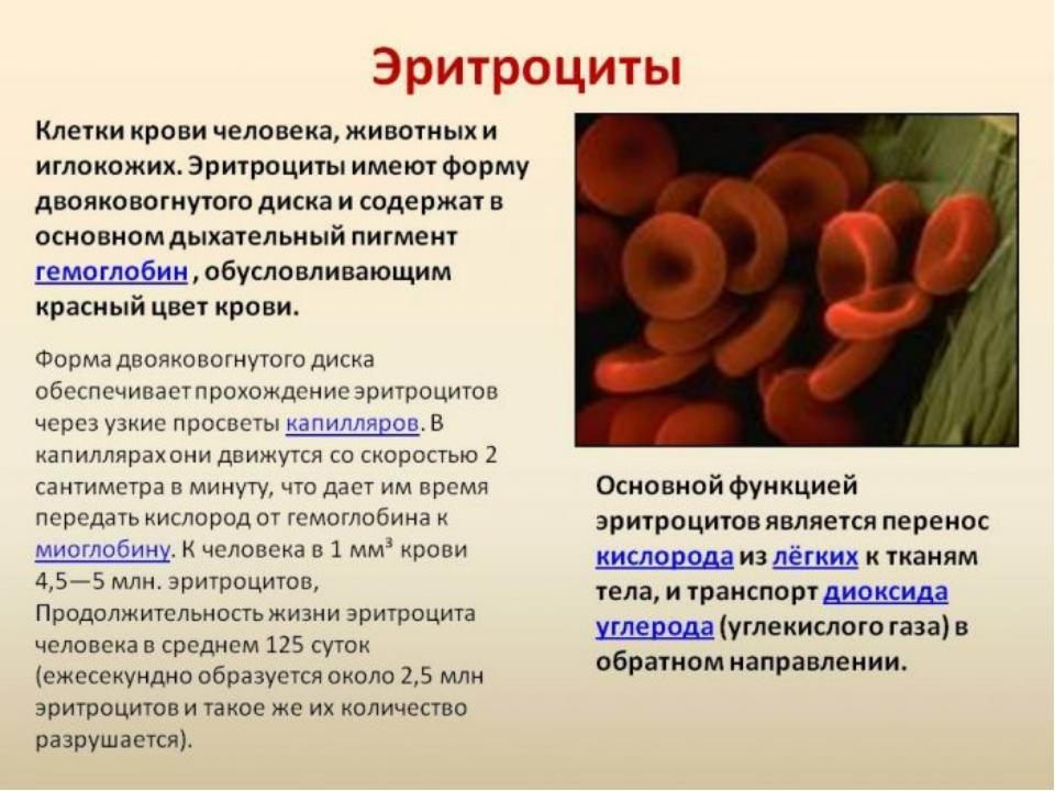 Совместное открытие знаний Красные кровяные клетки, или эритроциты