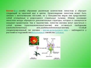 Венчик(лат.corolla) образован различным количеством лепестков и образует сл