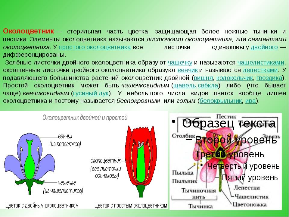 Околоцветник— стерильная часть цветка, защищающая более нежные тычинки и пес...