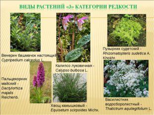 * Хвощ камышковый - Equisetum scirpoides Michx. Пузырник судетский - Rhizomat