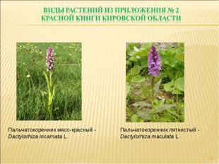 * Пальчатокоренник мясо-красный - Dactylorhiza incarnata L. Пальчатокоренник