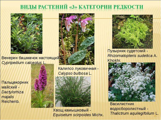 * Хвощ камышковый - Equisetum scirpoides Michx. Пузырник судетский - Rhizomat...