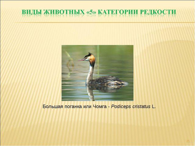 * Большая поганка или Чомга - Podiceps cristatus L.