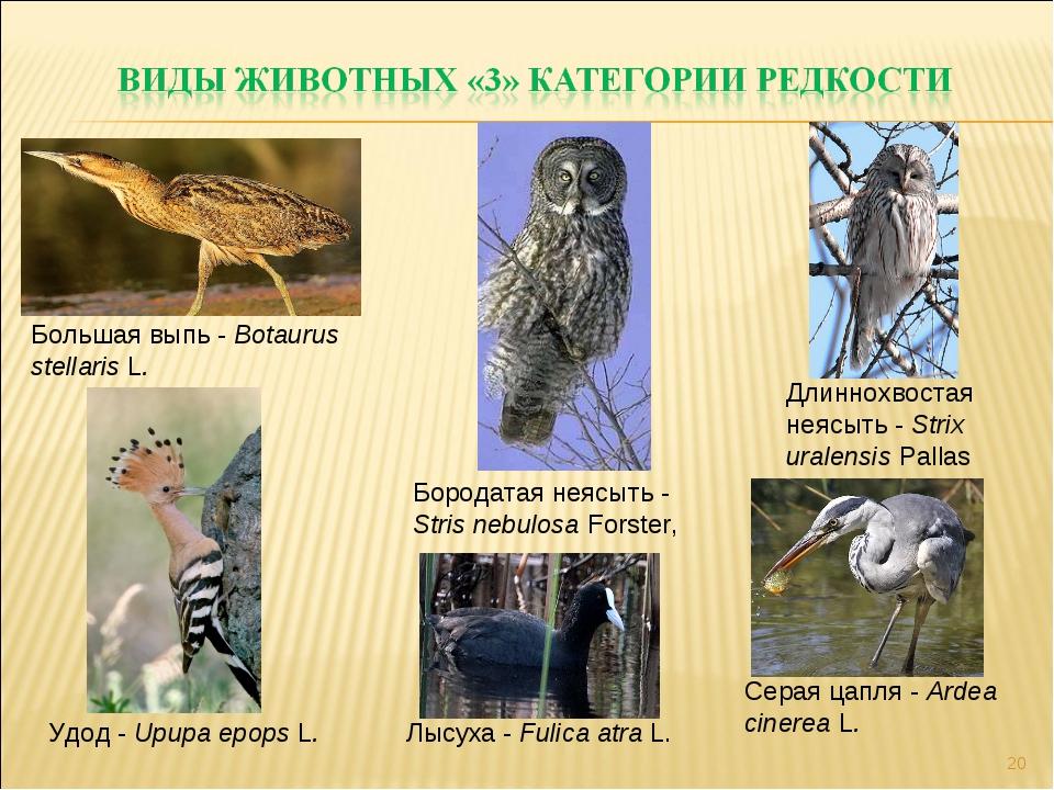 * Большая выпь - Botaurus stellaris L. Лысуха - Fulica atra L. Серая цапля -...