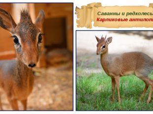 Саванны и редколесья Карликовые антилопы