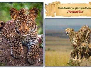 Саванны и редколесья Леопарды