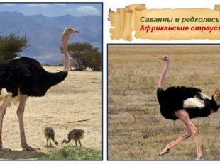 Саванны и редколесья Африканские страусы