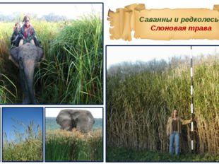 Саванны и редколесья Слоновая трава
