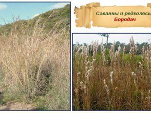 Саванны и редколесья Бородач