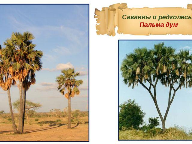 Саванны и редколесья Пальма дум
