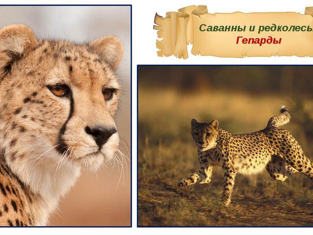 Саванны и редколесья Гепарды