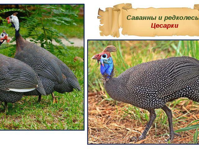 Саванны и редколесья Цесарки